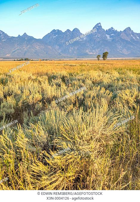 Open field of wild tall grass rests in foreground with Teton Mountain Range rising in the distance, Grand Tetons National Park, Teton County, Wyoming
