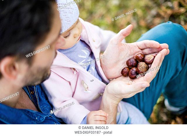 Father searching for chestnuts in park, with baby daughter on his lap