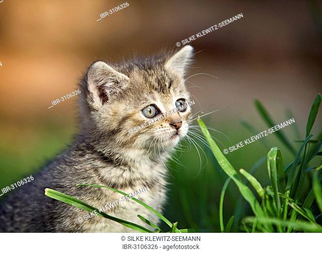 Brown tabby kitten sitting in a meadow