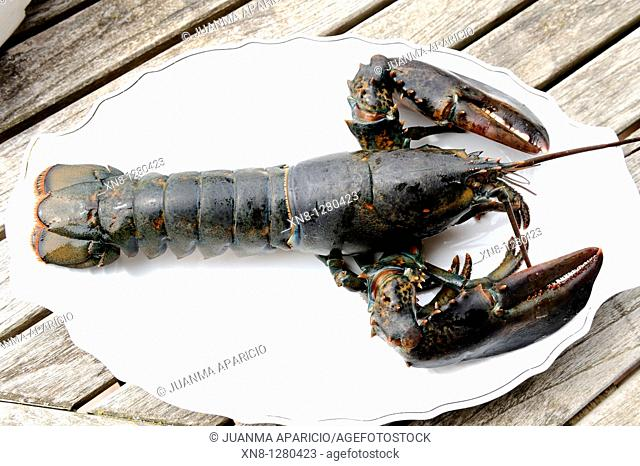 Live lobster presented on a white plate