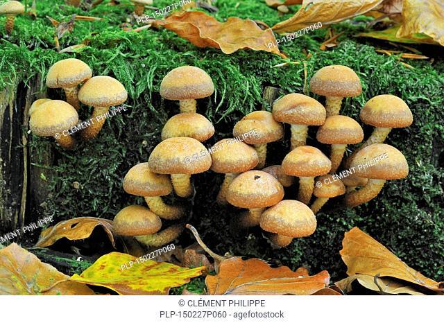 Brick cap / Brick Top / Brick Tuft mushrooms (Hypholoma sublateritium / Hypholoma lateritium)