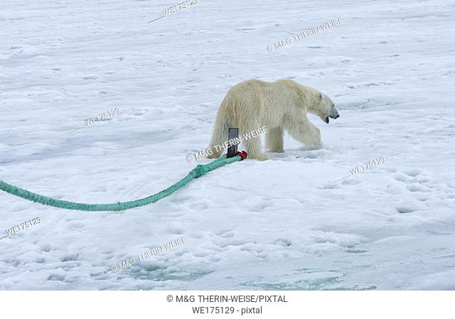 Polar Bear (Ursus maritimus) inspecting the pole of an expedition ship, Svalbard Archipelago, Norway