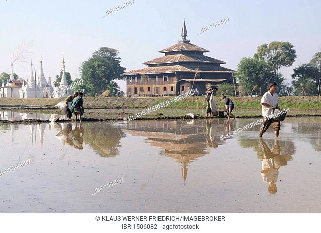 Farmers sowing rice in the flooded fields, unusual method in Asia, Nyaung Shwe, Inle Lake, Shan State, Myanmar, Burma, Southeast Asia, Asia