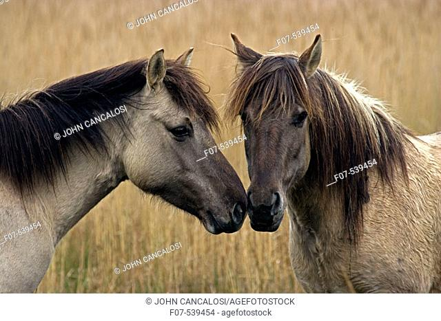 Konik Ponies-Norfolk Broads National Park-Norfolk-England- Breed originated in ancient lowland farm areas in Poland- Konik means small horse in Polish-Direct...