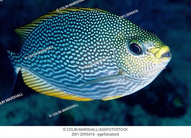 Java Rabbitfish (Siganus javus), Mioskon, Dampier Straits, Raja Ampat, West Papua, Indonesia