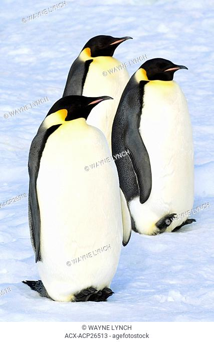 Adult emperor penguins Aptenodytes forsteri resting while en route for their nesting colony after a foraging trip at sea, Snow Hill Island, Weddell Sea