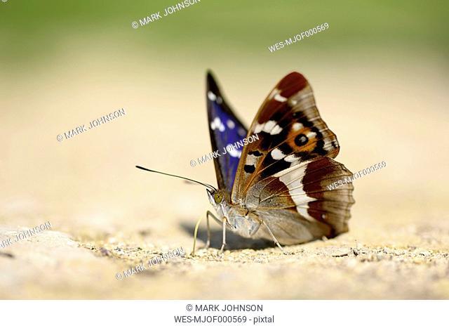 Purple Emperor, Apatura iris, sitting on sand