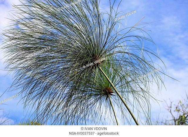 Papyrus plant Cyperus papyrus, Kibale forest, Uganda, East Africa