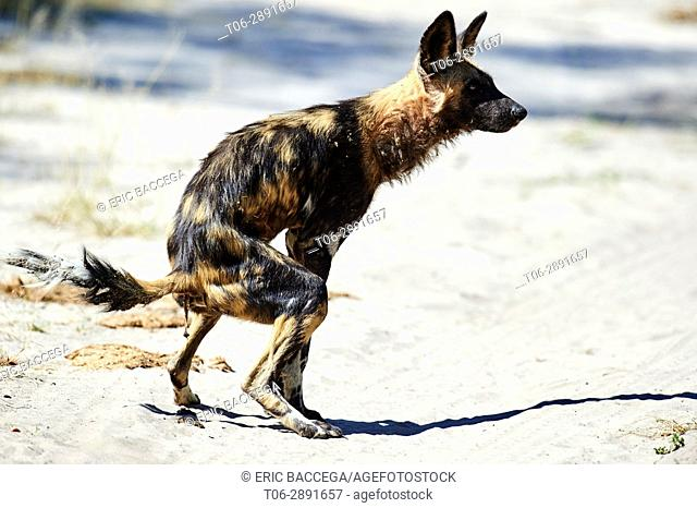 African wild dog (Lycaon pictus) defecating. Moremi National Park, Okavango delta, Botswana, Southern Africa