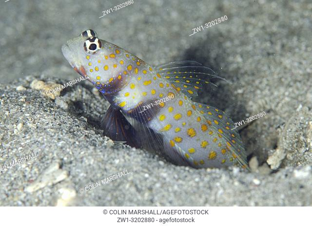 Spotted Shrimpgoby (Amblyeleotris guttata) guarding hole entrance, K41 dive site, Dili, East Timor (Timor Leste)