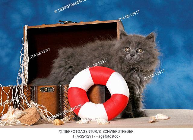Highlander Kitten in decoration