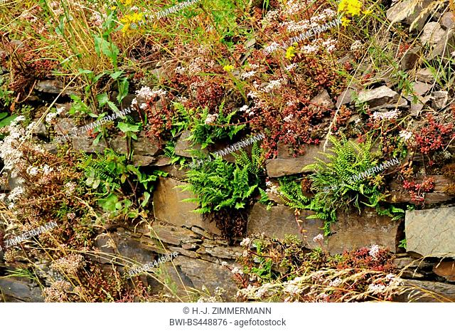 vineyard wall with ferns and white stonecrop, Germany, Rhineland-Palatinate, Moseltal