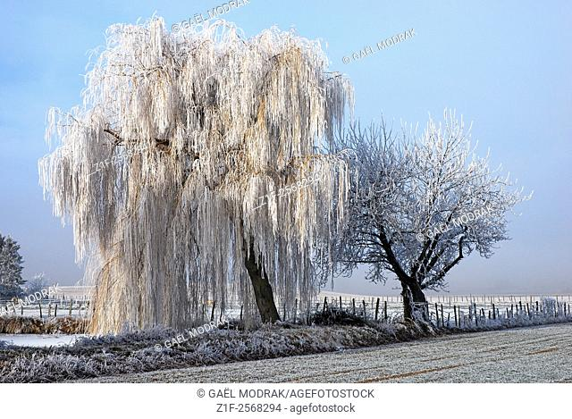 Frozen trees during a cold winter in France