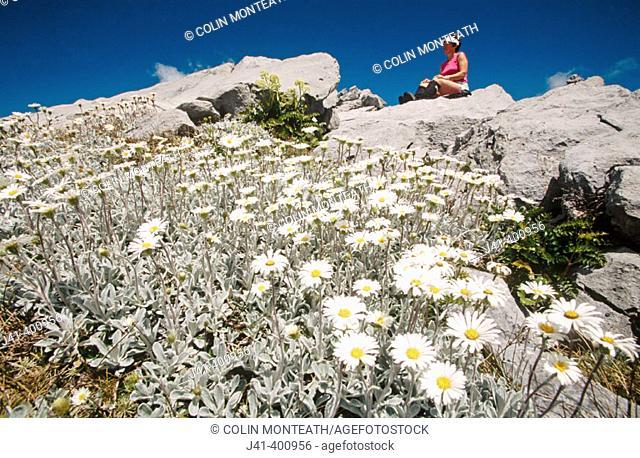 Tramper and alpine daisies on Mt. Owen. Kahurangi NP. New Zealand