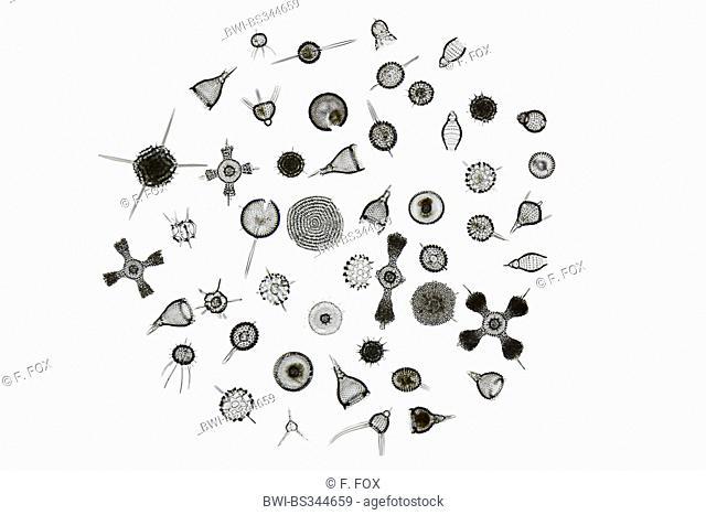 radiolarians (Radiolaria), different radiolarians from Barbados