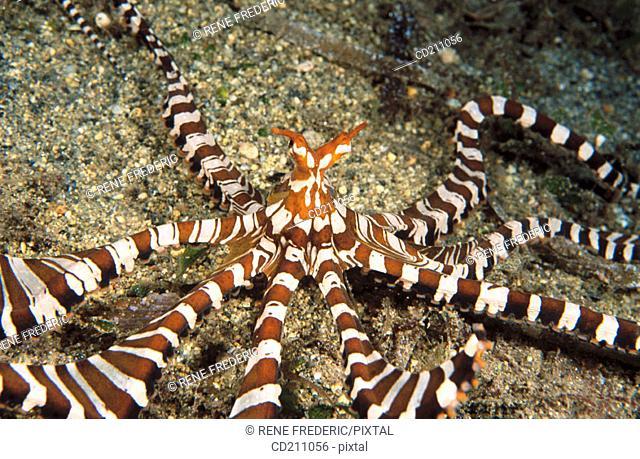 Octopus (Octopus sp.). Papua New Guinea