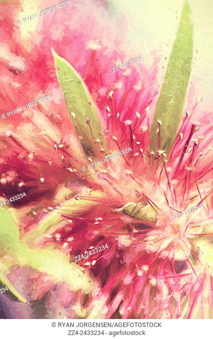 Fine art digital painting of the Australian native Bottlebrush flower species closeup with tones of red and green. Creative Australia flora