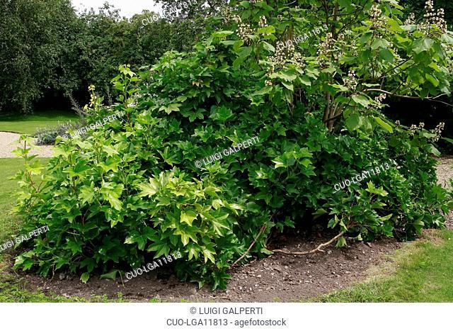 x Fatshedera lizei, tree-ivy