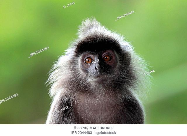 Silvery lutung, Silvered leaf monkey or Silvery langur (Trachypithecus cristatus), Labuk Bay, Sabah, Borneo, Malaysia, Asia