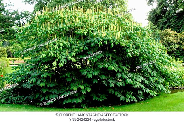 White chesnut tree, aesculus parviflorus