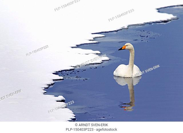 Whooper swan (Cygnus cygnus) swimming in winter