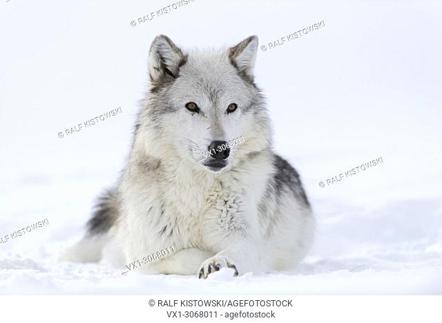 Gray Wolf ( Canis lupus) in winter, lying, resting in snow, amber coloured eyes, watching attentively, looks cute, Yellowstone area, Montana, USA