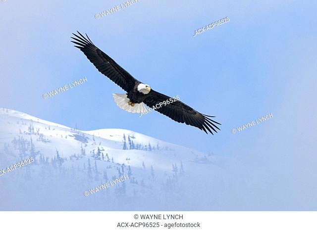 Adult bald eagle (Haliaeetus leucocephalus), temperate rainforest, coastal British Columbia, Canada