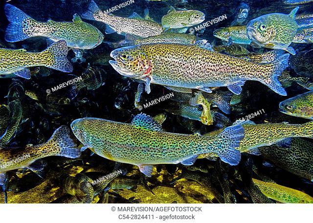 Freshwater Rivers. Rainbow trout (Oncorhynchus mykiss). San Isidro river. Cabaña Quinta. Asturias. Spain. Europe
