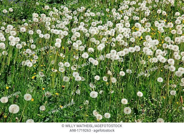 Withered Dandelion meadow, Bohemia, Czech Republic, Europe