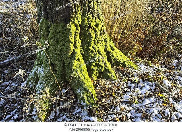 moss covered old tree, Finland