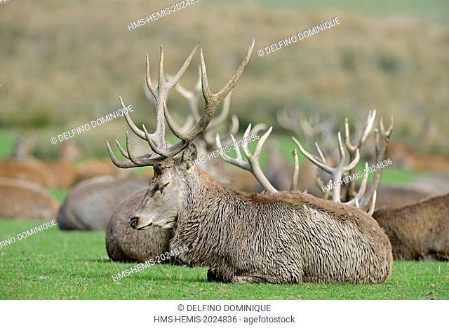 France, Moselle, Animal Park Saint Croix, Rhodes, red deer (Cervus elaphus), male at rest