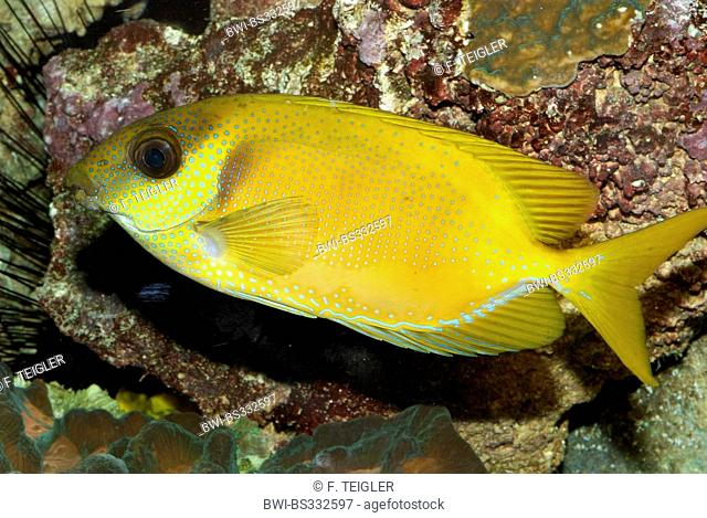 Coral rabbitfish, Blue-spotted spinefoot (Siganus corallinus), swimming