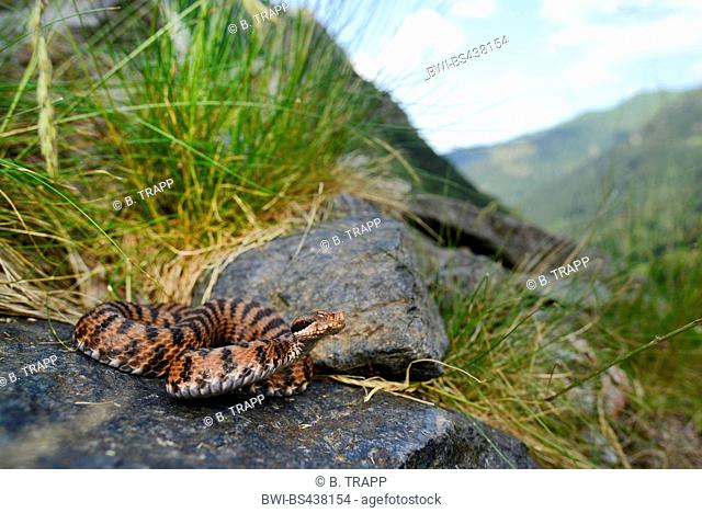 asp viper, aspic viper (Vipera aspis), red asp viper on a rock, Italy, Alps, Piedmont