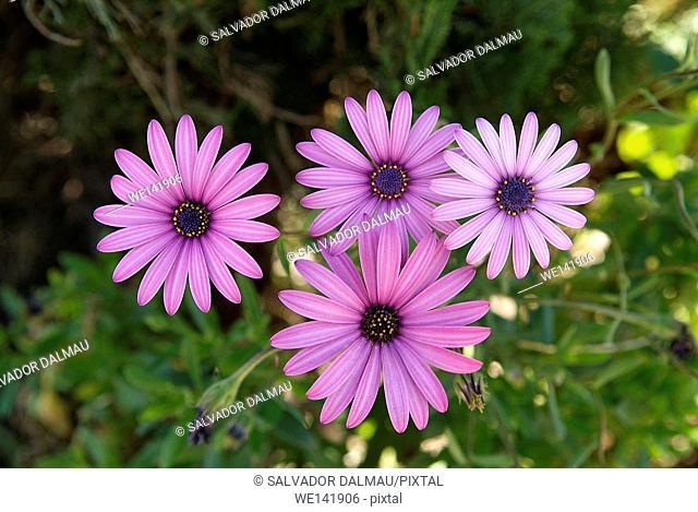 Foreign, purple flower, Location Porqueres, Girona, Catalonia, Spain, Europe
