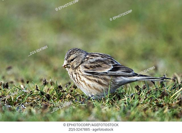 Twite, Linaria flavirostris,Pangong Tso, Leh Ladakh, Jammu and Kashmir, India