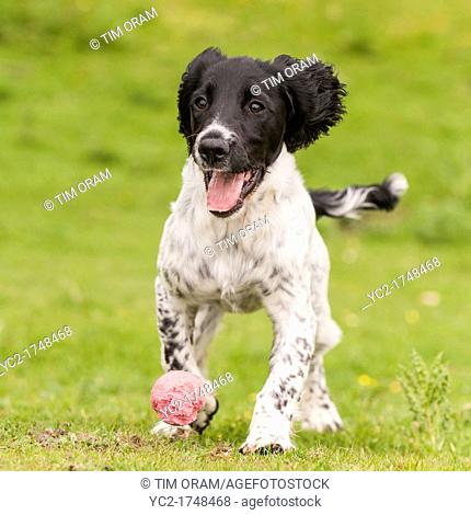 A 5 month old young English Springer Spaniel dog fetching a ball showing movement
