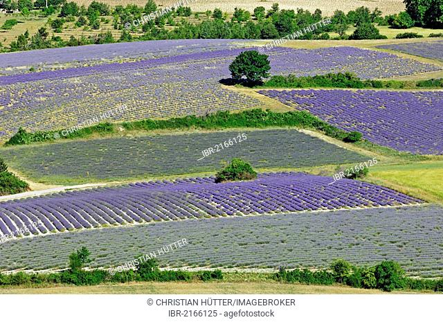 Fields of Lavender (Lavandula angustifolia), Vaucluse, Provence-Alpes-Cote d'Azur, Southern France, France, Europe, PublicGround