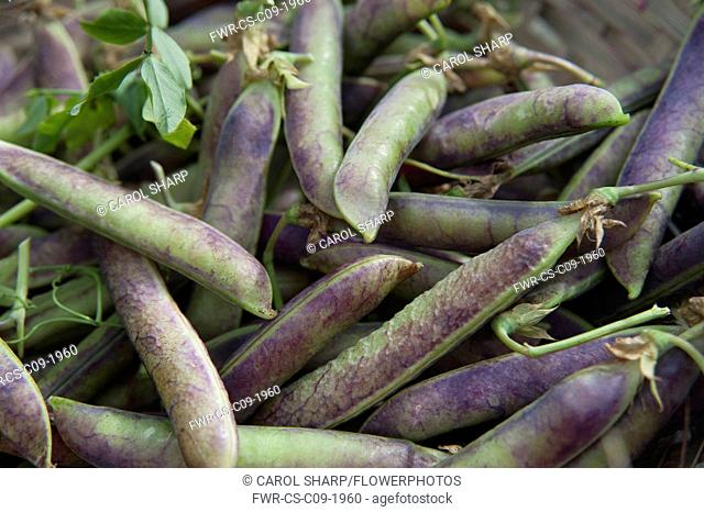 Pea, Pisum sativum 'Purple podded'. Harvested peas with purple and green pods