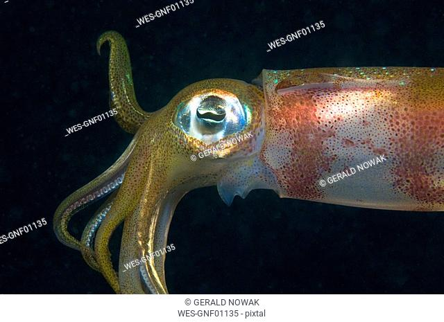 Egypt, Red Sea, Bigfin Reef Squid Sepioteuthis lessoniana, side view, close-up