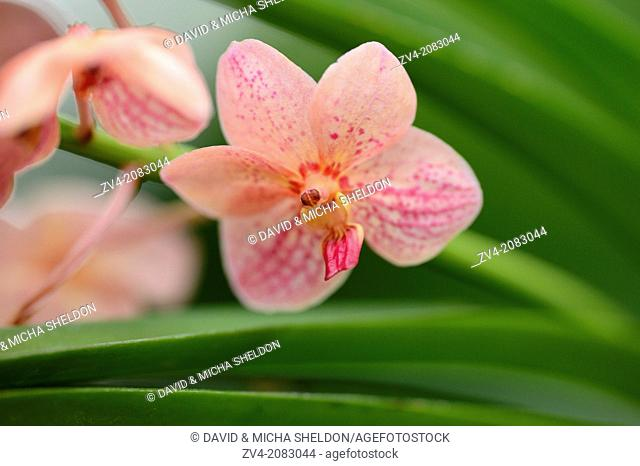 Close-up of blossoms from a Ascocenda Yip Sum Wah orchid