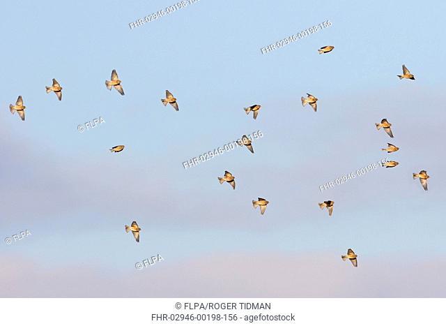 Eurasian Linnet (Linaria cannabina) flock, in flight, Norfolk, England, January