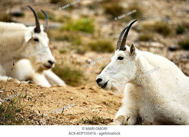 Mountain Goats resting