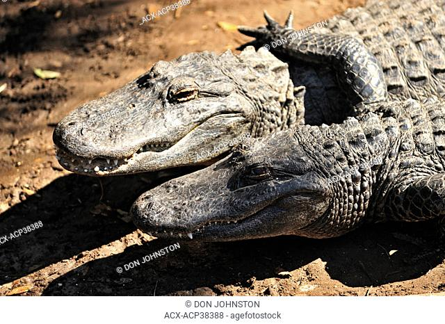 American Alligator Alligator missippiensis, St. Augustine Alligator Farm Zoological Park, Florida, United States of America