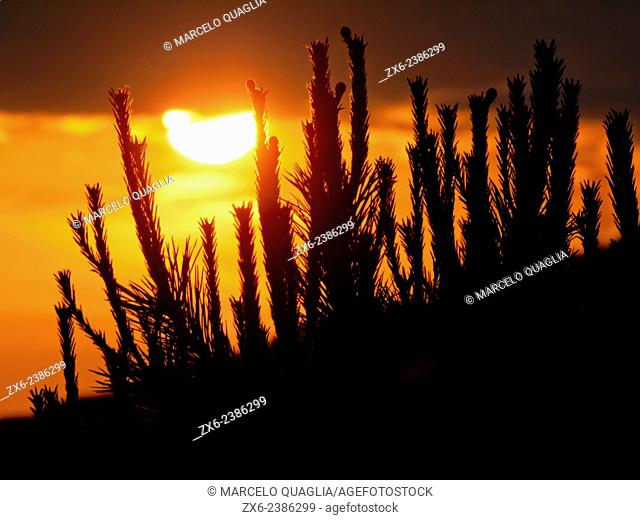 Sun sets behind pine tree sprouts. Collserola Natural Park. Barcelona Metropolitan Area, Catalonia, Spain