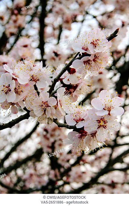 Close up of a branch of beautiful peach flowers