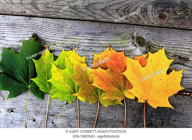 autumn color change in sugar maple leaves
