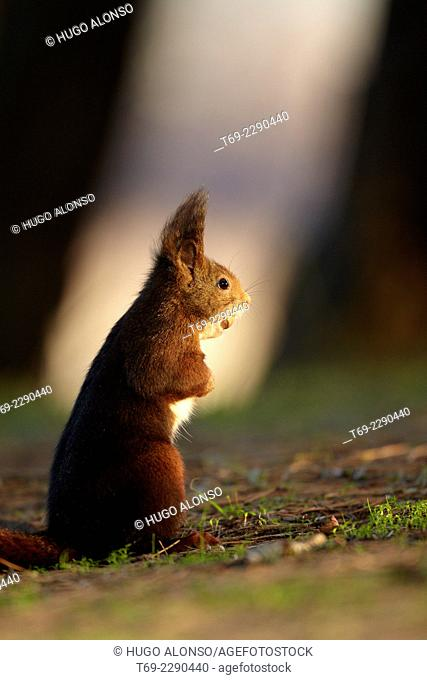 Red squirrel Sciurus vulgaris