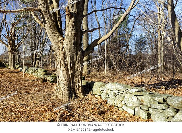 Stone wall on the grounds of Odiorne Point State Park in Rye, New Hampshire USA during the spring months. Large maple trees line the stone wall