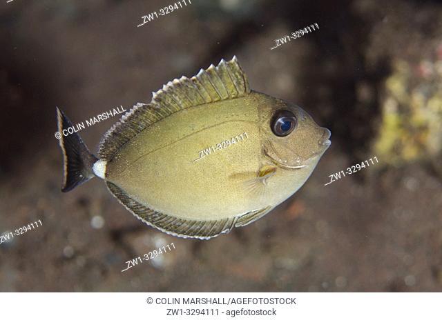 Juvenile Whitemargin Unicornfish (Naso annulatus), Seraya House Reef dive site, Seraya, near Tulamben, Bali, Indonesia