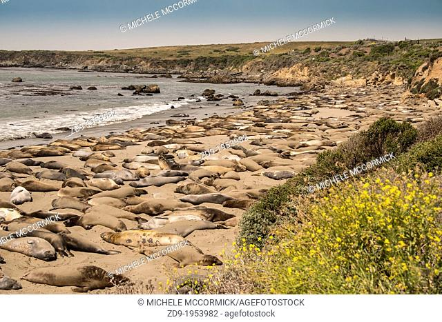 Elephant seals gather by the thousands at Piedras Blancas near San Simeon. Many of these are molting